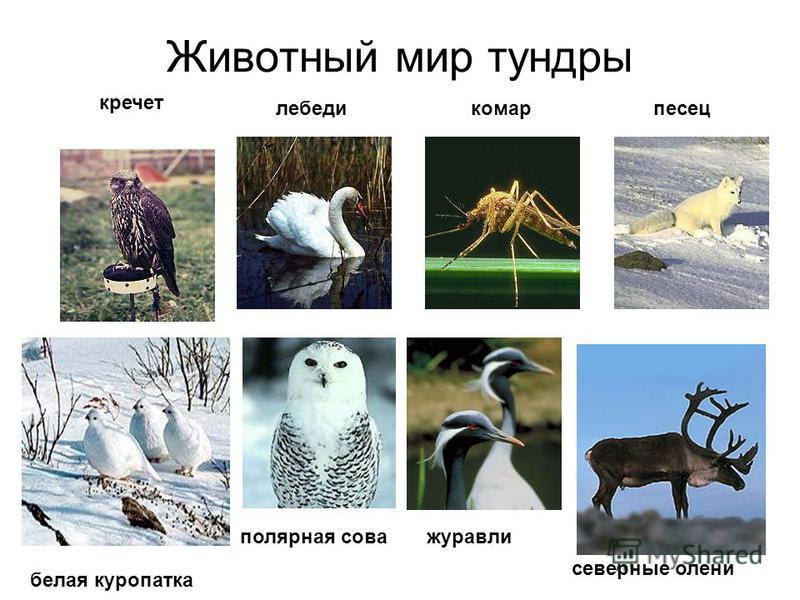 Животный мир тундры кречет лебедикомарпесец белая куропатка полярная сова северные олени журавли