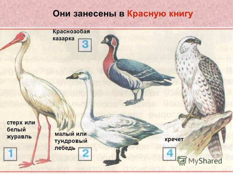 Они занесены в Красную книгу стерх или белый журавль малый или тундровый лебедь Краснозобая казарка кречет