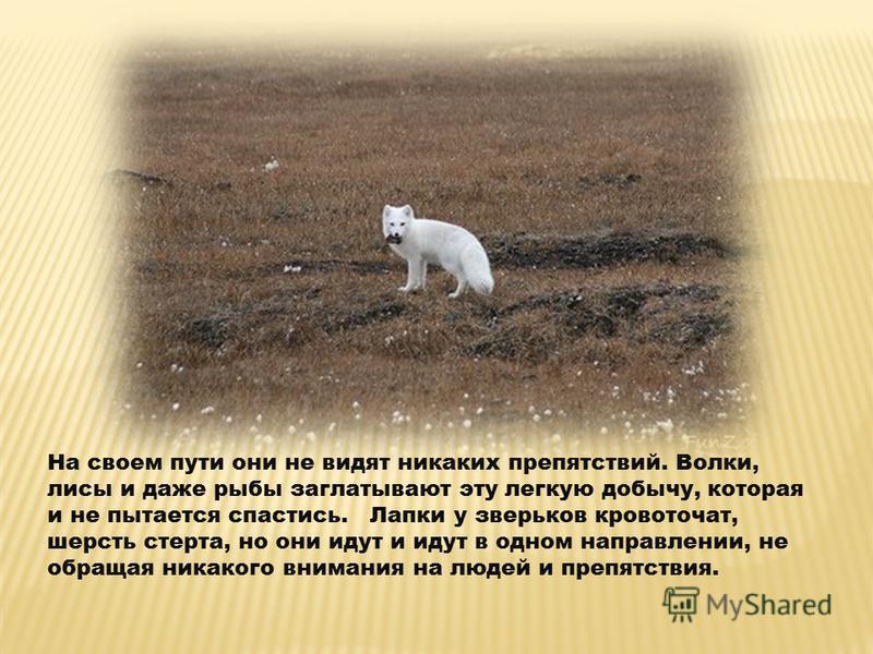 На своем пути они не видят никаких препятствий. Волки, лисы и даже рыбы заглатывают эту легкую добычу, которая и не пытается спастись. Лапки у зверьков кровоточат, шерсть стерта, но они идут и идут в одном направлении, не обращая никакого внимания на