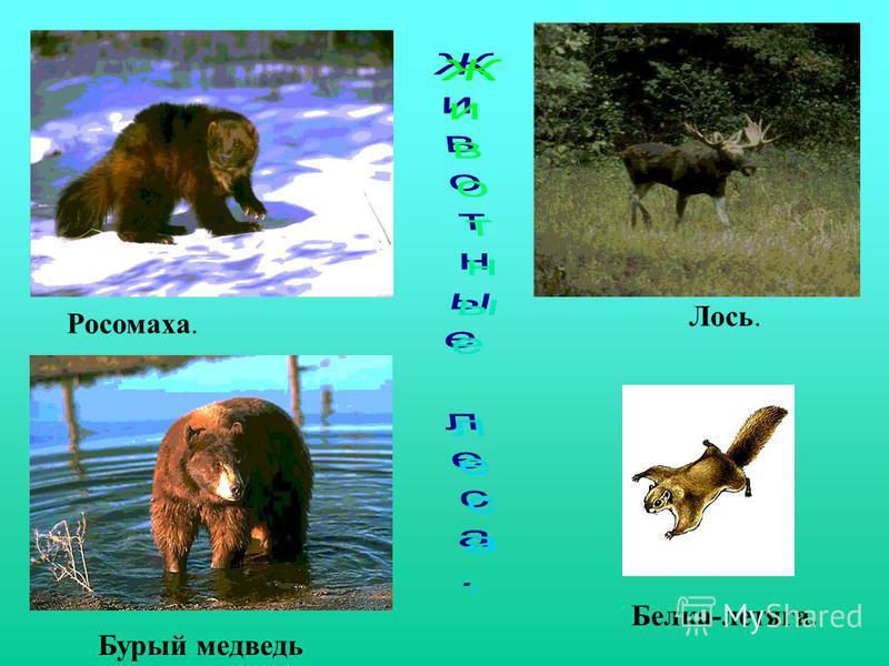 Росомаха. Бурый медведь Лось. Белка-летяга.