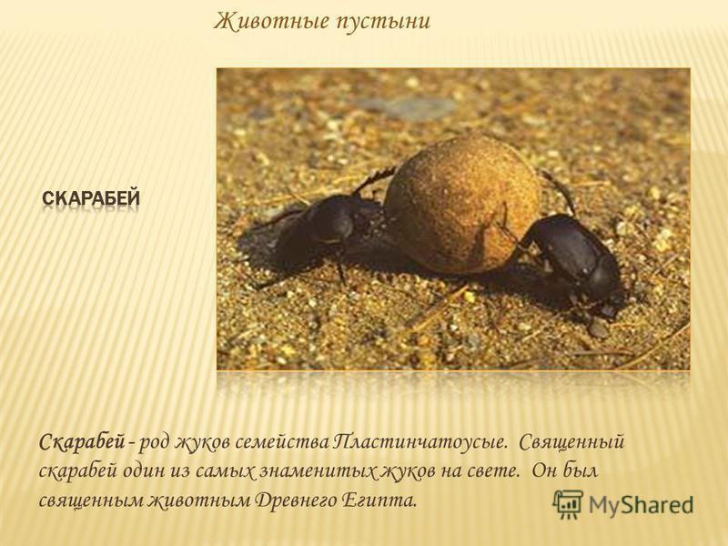 Животные пустыни Скарабей - род жуков семейства Пластинчатоусые. Священный скарабей один из самых знаменитых жуков на свете. Он был священным животным Древнего Египта.
