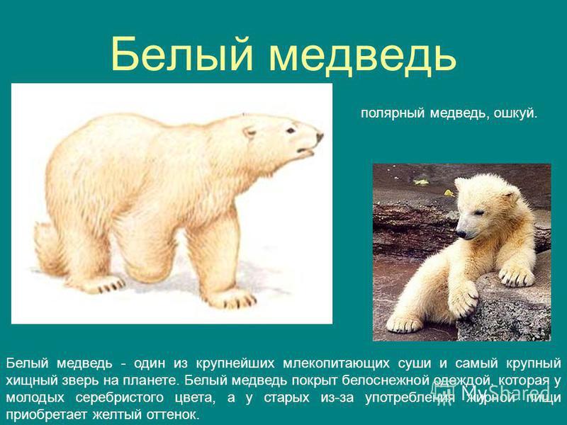 Белый медведь полярный медведь, ушкуй. Белый медведь - один из крупнейших млекопитающих суши и самый крупный хищный зверь на планете. Белый медведь покрыт белоснежной одеждой, которая у молодых серебристого цвета, а у старых из-за употребления жирной