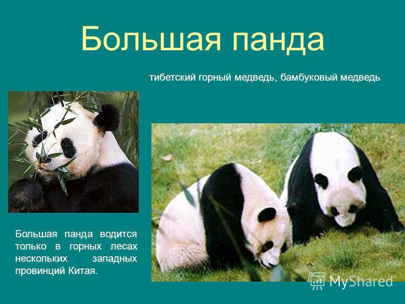 Большая панда тибетский горный медведь, бамбуковый медведь Большая панда водится только в горных лесах нескольких западных провинций Китая.