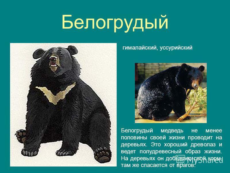Белогрудый гималайский, уссурийский Белогрудый медведь не менее половины своей жизни проводит на деревьях. Это хороший древолаз и ведет полу древесный образ жизни. На деревьях он добывает свой корм, там же спасается от врагов.