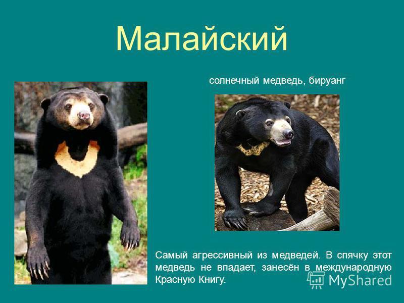 Малайский солнечный медведь, бируанг Самый агрессивный из медведей. В спячку этот медведь не впадает, занесён в международную Красную Книгу.