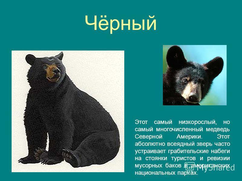 Чёрный Этот самый низкорослый, но самый многочисленный медведь Северной Америки. Этот абсолютно всеядный зверь часто устраивает грабительские набеги на стоянки туристов и ревизии мусорных баков в американских национальных парках.