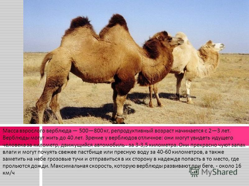 Масса взрослого верблюда 500800 кг, репродуктивный возраст начинается с 23 лет. Верблюды могут жить до 40 лет. Зрение у верблюдов отличное : они могут увидеть идущего человека за километр, движущийся автомобиль - за 3-3,5 километра. Они прекрасно чую