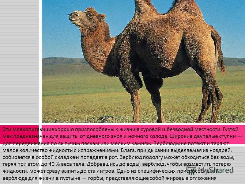 Эти млекопитающие хорошо приспособлены к жизни в суровой и безводной местности. Густой мех предназначен для защиты от дневного зноя и ночного холода. Широкие двупалые ступни для передвижения по сыпучим пескам или мелким камням. Верблюды не потеют и т
