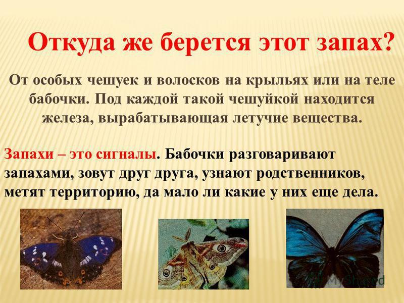 Откуда же берется этот запах? От особых чешуек и волосков на крыльях или на теле бабочки. Под каждой такой чешуйкой находится железа, вырабатывающая летучие вещества. Запахи – это сигналы. Бабочки разговаривают запахами, зовут друг друга, узнают родс