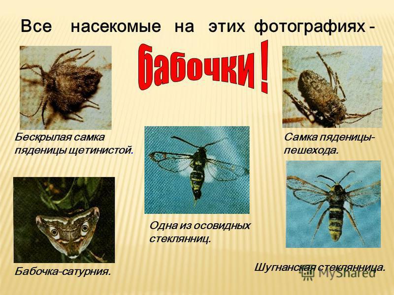 Все насекомые на этих фотографиях - Бескрылая самка пяденицы щетинистой. Одна из осовидных стеклянниц. Самка пяденицы- пешехода. Шугнанская стеклянница. Бабочка-сатурния.
