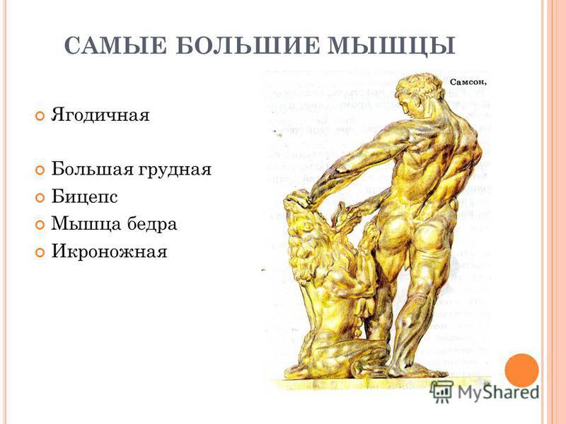 САМЫЕ БОЛЬШИЕ МЫШЦЫ Ягодичная Большая грудная Бицепс Мышца бедра Икроножная