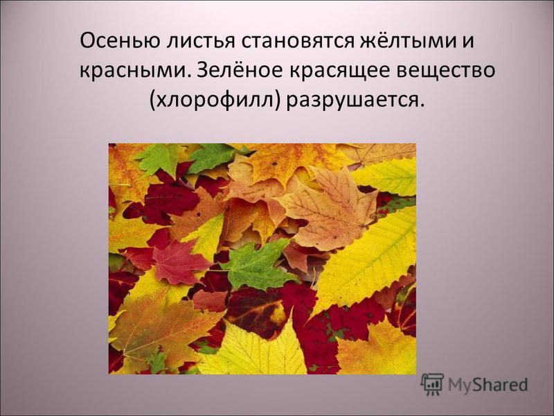 Осенью листья становятся жёлтыми и красными. Зелёное красящее вещество (хлорофилл) разрушается.