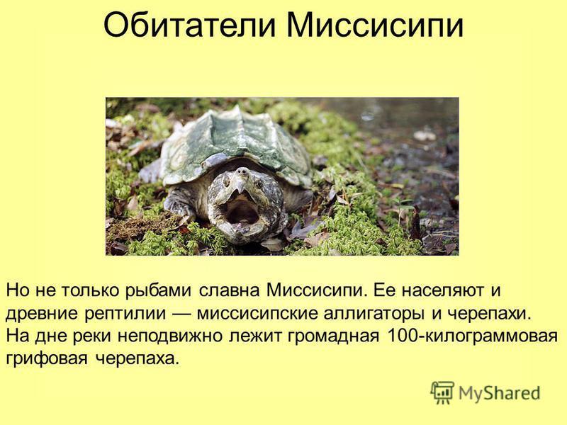 Обитатели Миссисипи Но не только рыбами славна Миссисипи. Ее населяют и древние рептилии миссисипские аллигаторы и черепахи. На дне реки неподвижно лежит громадная 100-килограммовая грифовая черепаха.
