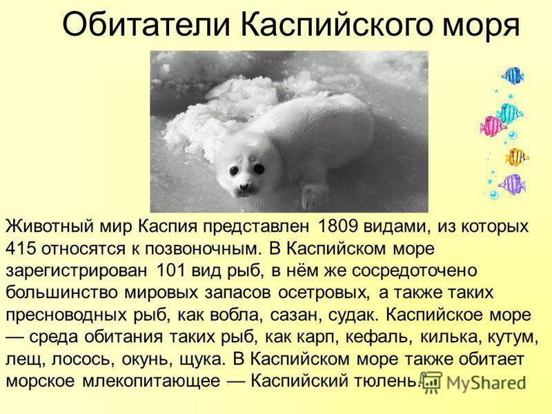 Обитатели Каспийского моря Животный мир Каспия представлен 1809 видами, из которых 415 относятся к позвоночным. В Каспийском море зарегистрирован 101 вид рыб, в нём же сосредоточено большинство мировых запасов осетровых, а также таких пресноводных ры