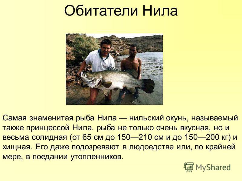 Обитатели Нила Самая знаменитая рыба Нила нильский окунь, называемый также принцессой Нила. рыба не только очень вкусная, но и весьма солидная (от 65 см до 150210 см и до 150200 кг) и хищная. Его даже подозревают в людоедстве или, по крайней мере, в