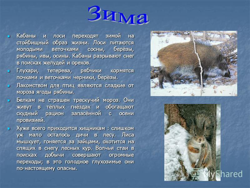 Кабаны и лоси переходят зимой на стойбищный образ жизни. Лоси питаются молодыми веточками сосны, берёзы, рябины, ивы, осины. Кабаны разрывают снег в поисках желудей и орехов. Кабаны и лоси переходят зимой на стойбищный образ жизни. Лоси питаются моло