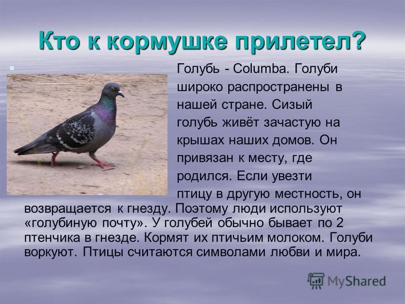 Кто к кормушке прилетел? Голубь - Columba. Голуби широко распространены в нашей стране. Сизый голубь живёт зачастую на крышах наших домов. Он привязан к месту, где родился. Если увезти птицу в другую местность, он возвращается к гнезду. Поэтому люди