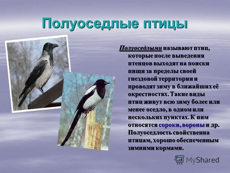 Полуоседлые птицы Полуоседлыми называют птиц, которые после выведения птенцов выходят на поиски пищи за пределы своей гнездовой территории и проводят зиму в ближайших её окрестностях. Такие виды птиц живут всю зиму более или менее оседло, в одном или