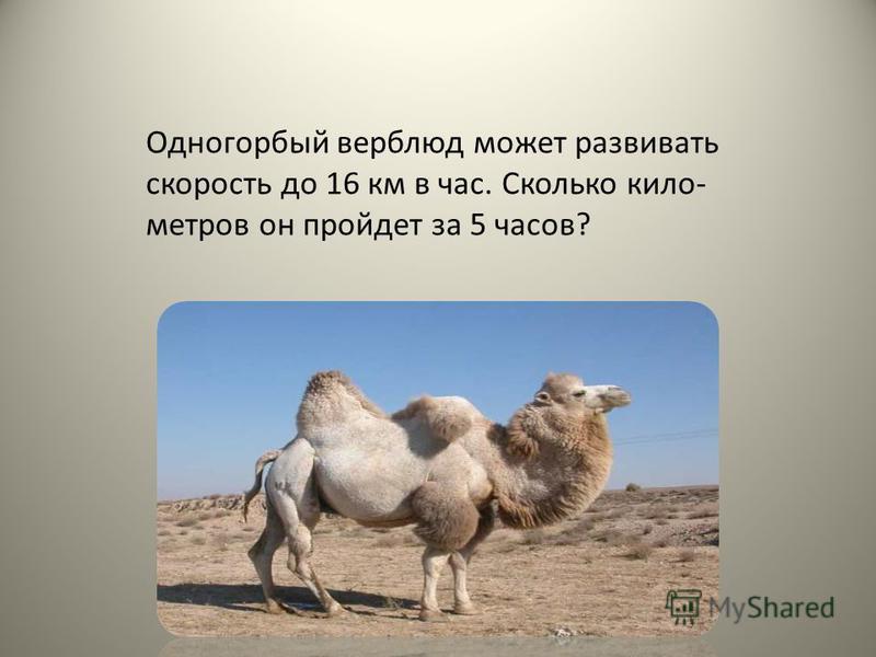 Одногорбый верблюд может развивать скорость до 16 км в час. Сколько кило- метров он пройдет за 5 часов?