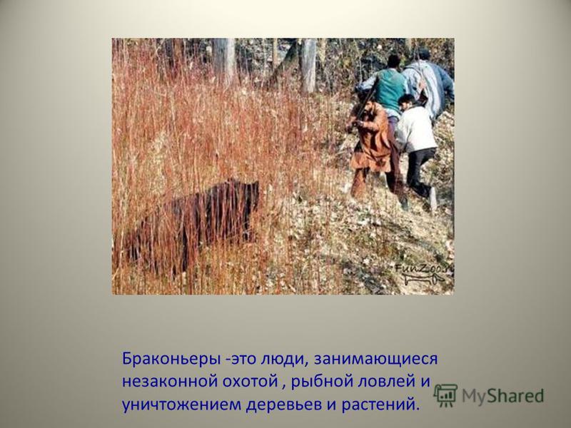 Браконьеры -это люди, занимающиеся незаконной охотой, рыбной ловлей и уничтожением деревьев и растений.