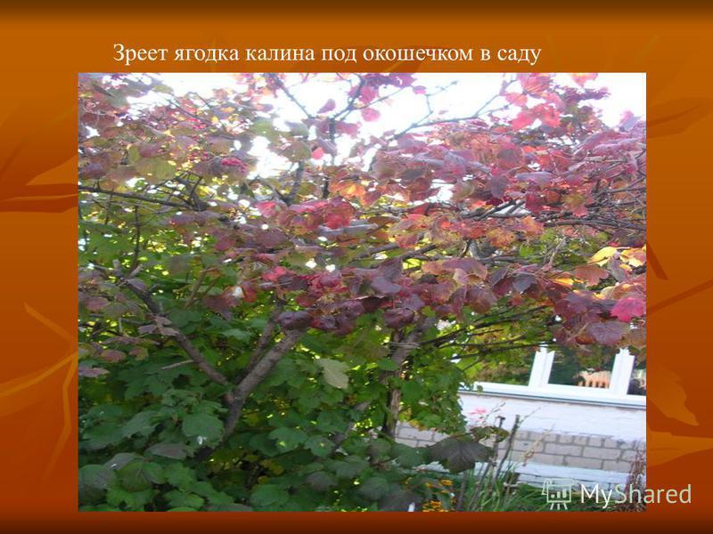 Зреет ягодка калина под окошечком в саду