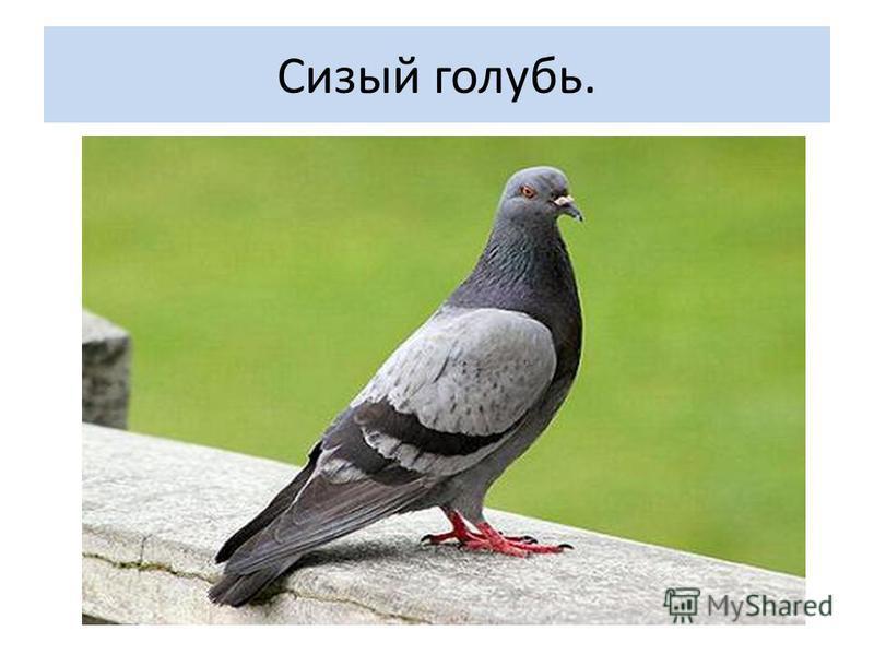 Сизый голубь.