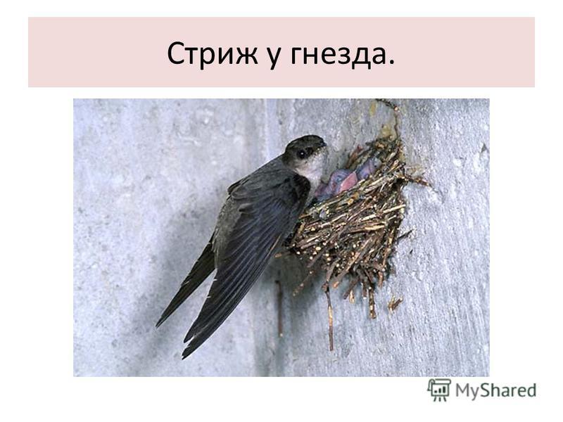Стриж у гнезда.