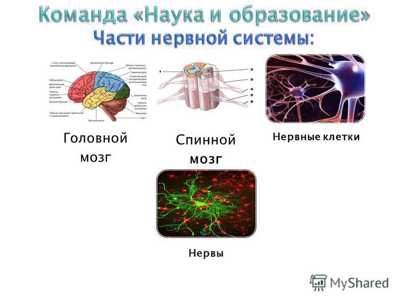 Головной мозг Спинной мозг Нервные клетки Нервы