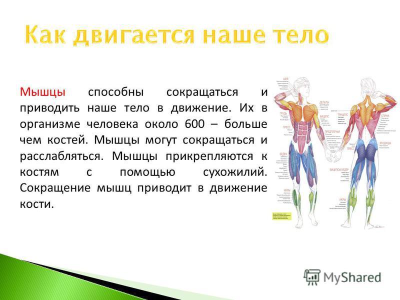 Мышцы способны сокращаться и приводить наше тело в движение. Их в организме человека около 600 – больше чем костей. Мышцы могут сокращаться и расслабляться. Мышцы прикрепляются к костям с помощью сухожилий. Сокращение мышц приводит в движение кости.