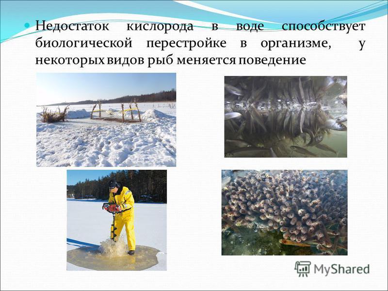 Недостаток кислорода в воде способствует биологической перестройке в организме, у некоторых видов рыб меняется поведение