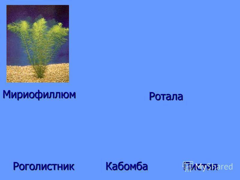 Мириофиллюм Ротала Роголистник ПистияКабомба