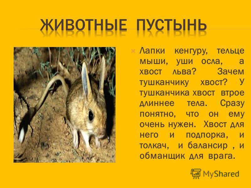 Лапки кенгуру, тельце мыши, уши осла, а хвост льва? Зачем тушканчику хвост? У тушканчика хвост втрое длиннее тела. Сразу понятно, что он ему очень нужен. Хвост для него и подпорка, и толкач, и балансир, и обманщик для врага.