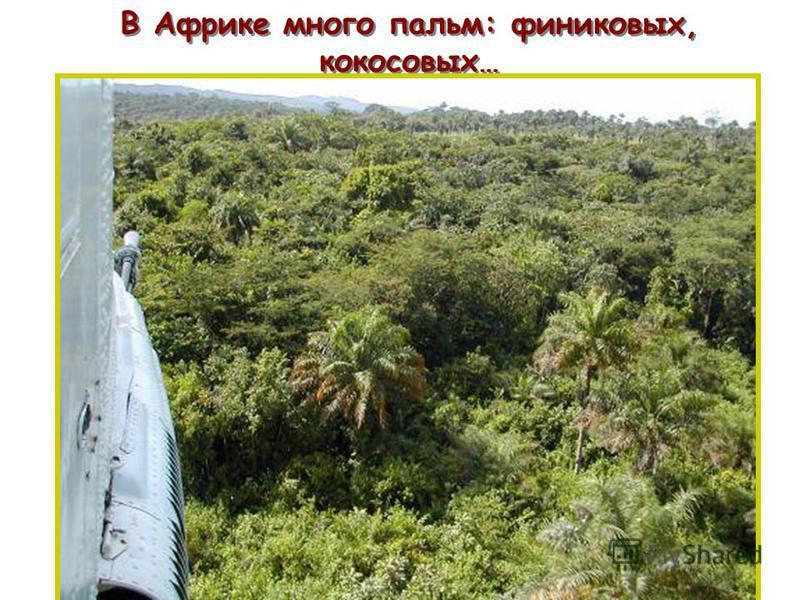 В Африке много пальм: финиковых, кокосовых… п п
