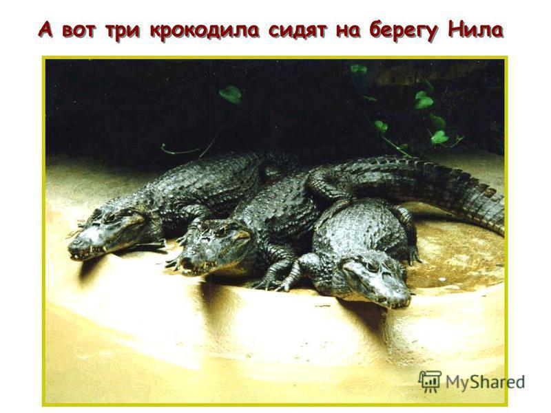 А вот три крокодила сидят на берегу Нила п п