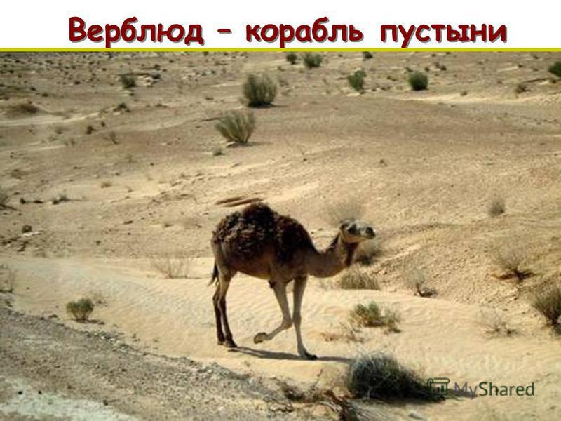 Верблюд – корабль пустыни п п