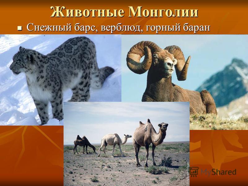 Животные Монголии Снежный барс, верблюд, горный баран Снежный барс, верблюд, горный баран