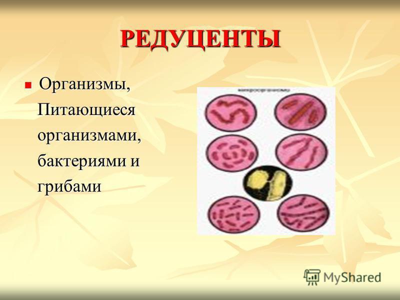 РЕДУЦЕНТЫ Организмы, Организмы, Питающиеся Питающиеся организмами, организмами, бактериями и бактериями и грибами грибами