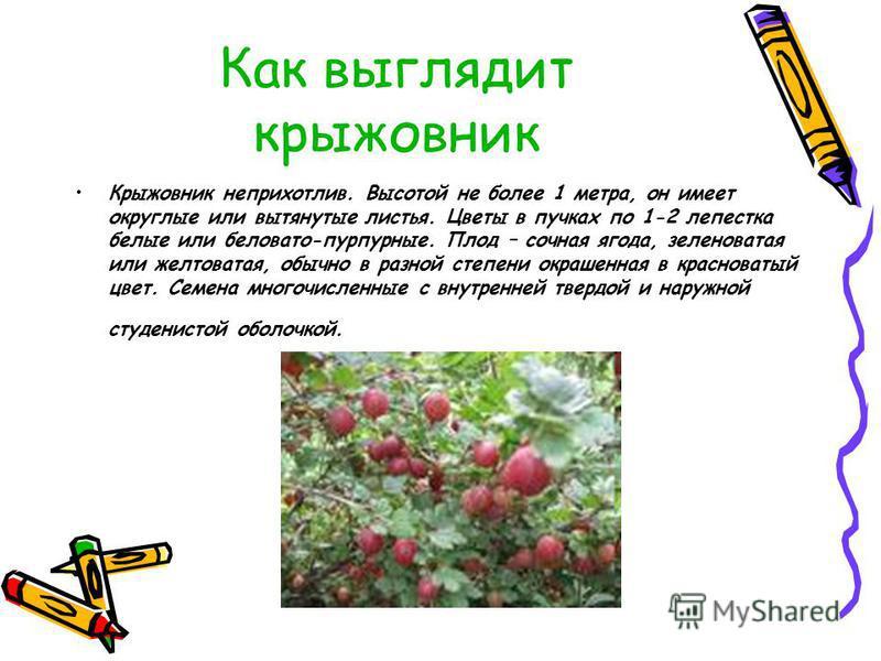 Как выглядит крыжовник Крыжовник неприхотлив. Высотой не более 1 метра, он имеет округлые или вытянутые листья. Цветы в пучках по 1-2 лепестка белые или беловато-пурпурные. Плод – сочная ягода, зеленоватая или желтоватая, обычно в разной степени окра