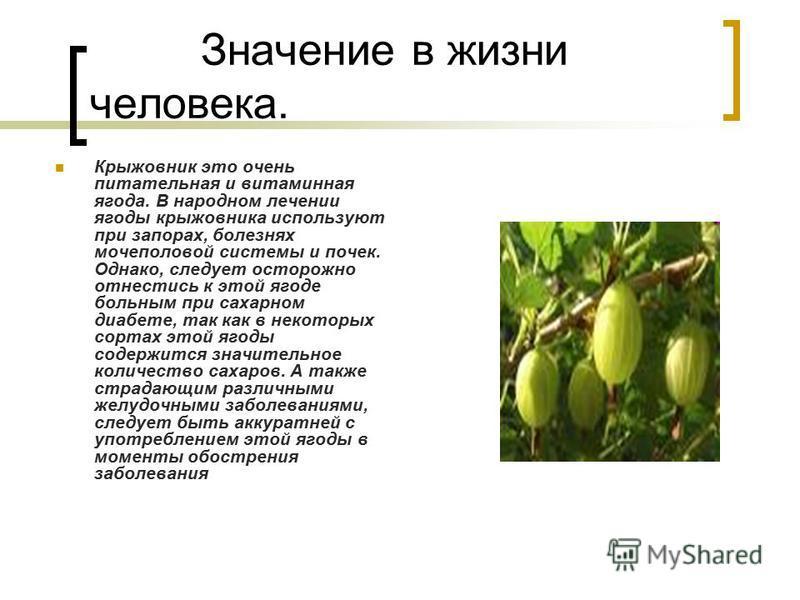 Значение в жизни человека. Крыжовник это очень питательная и витаминная ягода. В народном лечении ягоды крыжовника используют при запорах, болезнях мочеполовой системы и почек. Однако, следует осторожно отнестись к этой ягоде больным при сахарном диа