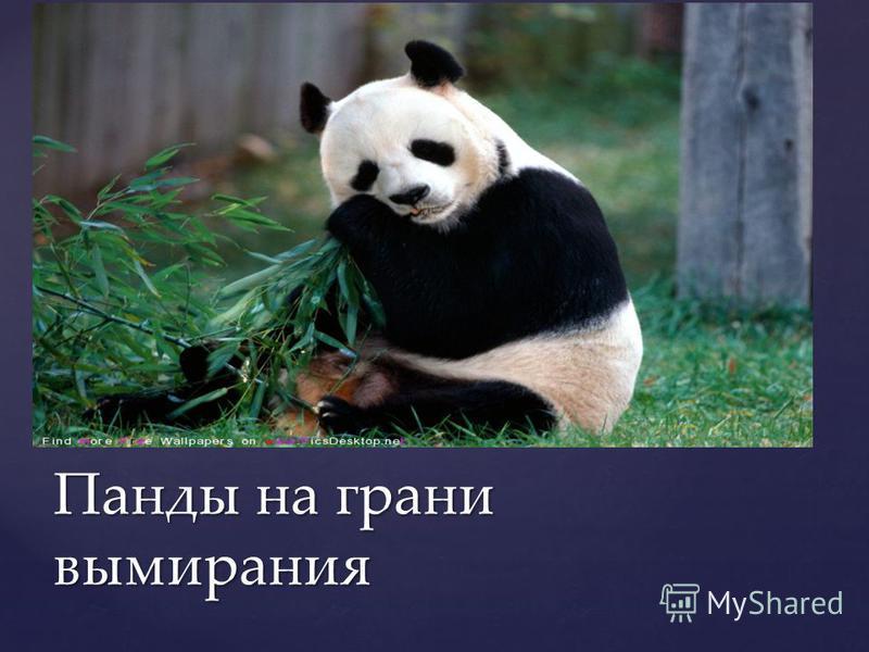 Панды на грани вымирания