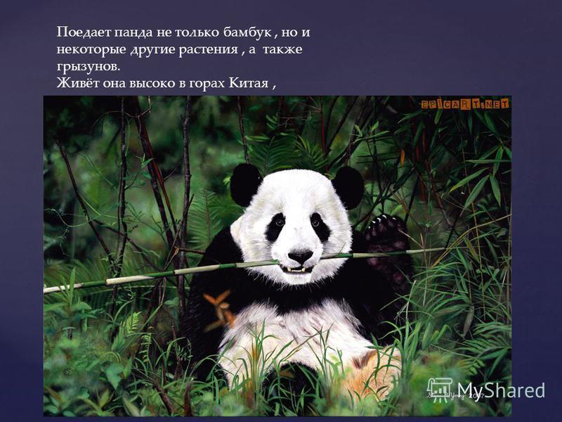 Поедает панда не только бамбук, но и некоторые другие растения, а также грызунов. Живёт она высоко в горах Китая, хорошо лазает по деревьям,но большую часть времени проводит на земле.