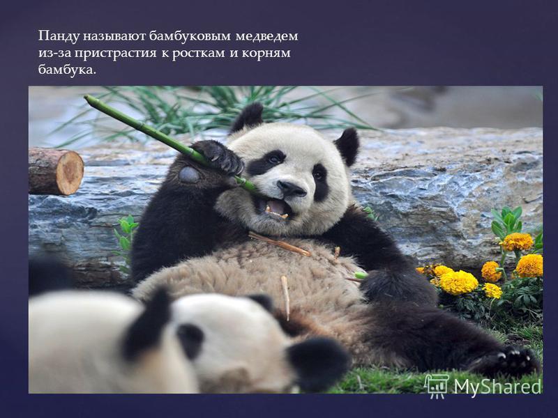 Панду называют бамбуковым медведем из-за пристрастия к росткам и корням бамбука.
