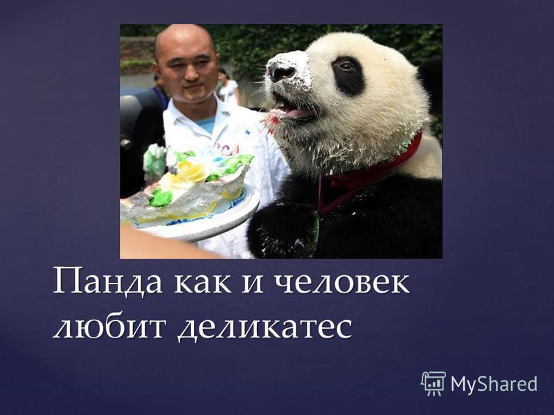 Панда как и человек любит деликатес