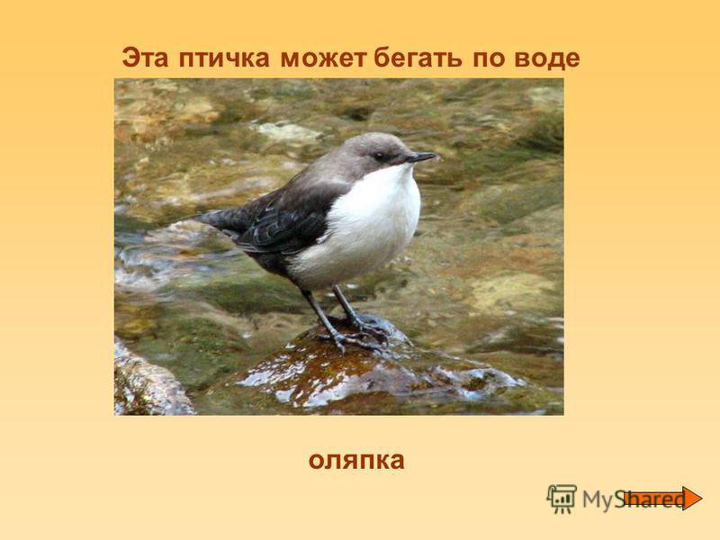 Эта птичка может бегать по воде оляпка