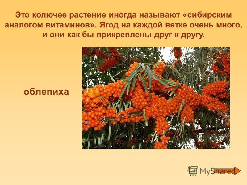 Это колючее растение иногда называют «сибирским аналогом витаминов». Ягод на каждой ветке очень много, и они как бы прикреплены друг к другу. облепиха