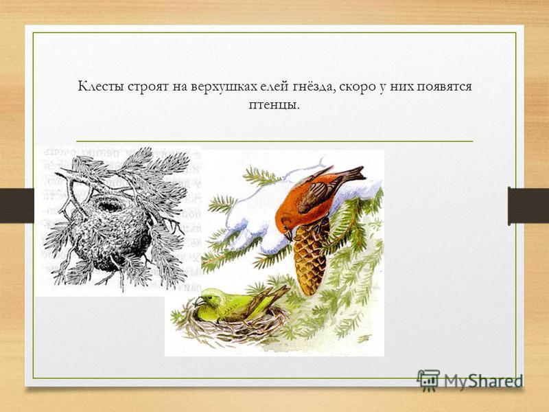 Клесты строят на верхушках елей гнёзда, скоро у них появятся птенцы.
