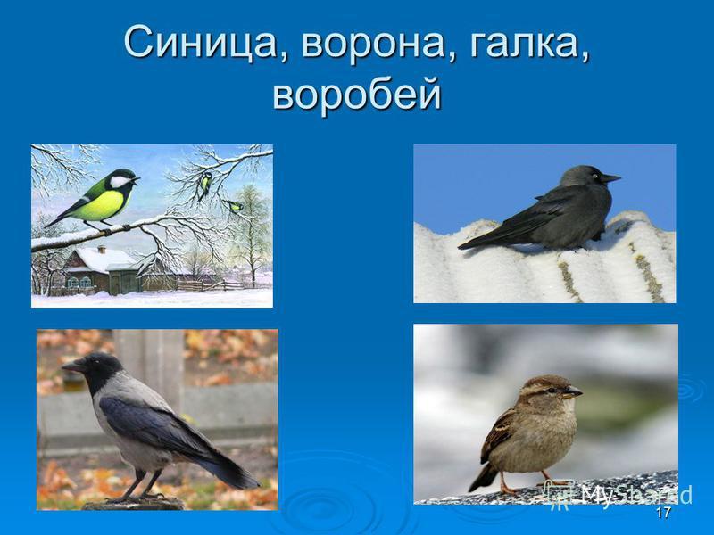 Синица, ворона, галка, воробей 17