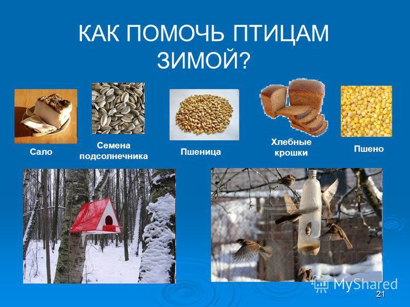 КАК ПОМОЧЬ ПТИЦАМ ЗИМОЙ? Сало Семена подсолнечника Пшеница Хлебные крошки Пшено 21