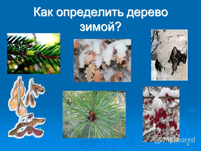 Как определить дерево зимой? 5