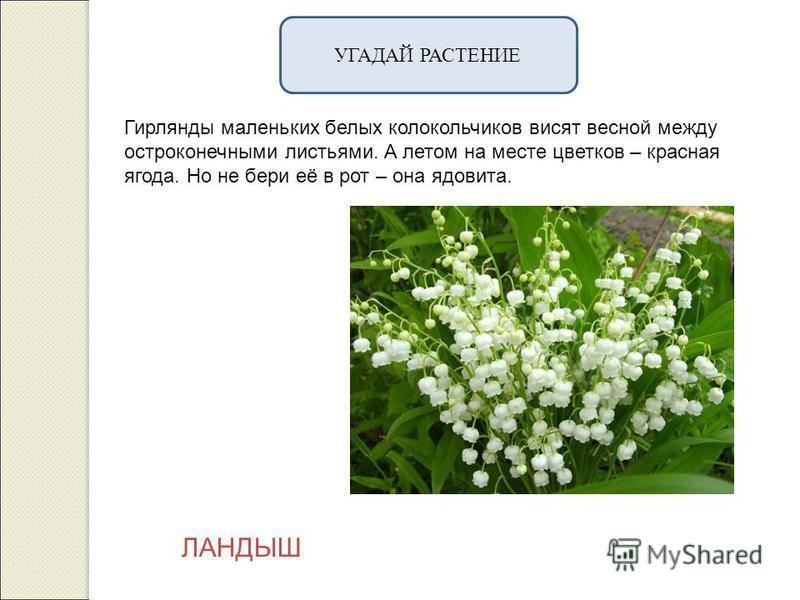 УГАДАЙ РАСТЕНИЕ Гирлянды маленьких белых колокольчиков висят весной между остроконечными листьями. А летом на месте цветков – красная ягода. Но не бери её в рот – она ядовита. ЛАНДЫШ
